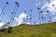 Palma de Cera (Tato Avila) Tags: colombia palma de cera quindo valle del cocora eje cafetero colores clido cielos naturaleza nubes vida