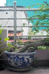 (kuuan) Tags: olympusfzuikoautotf285mm manualfocus mf olympus zuiko fzuiko 85mm f2 f285mm hcmc saigon vietnam sonya7 sony a7 balcony bonsai
