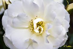 whiterosenik.jpg (raysul) Tags: flower macro flowerphotography floralart closeup depthoffield decorative beautyinmacro