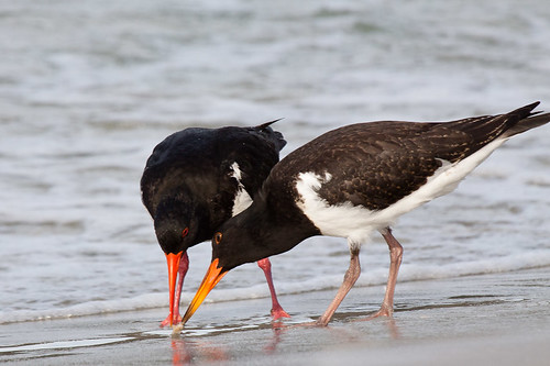 Pied Oystercatchers feeding