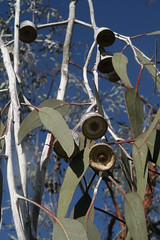 fruits like bell (superholly0926) Tags: australia kangaroo perth causeway   perthcity heirissonisland