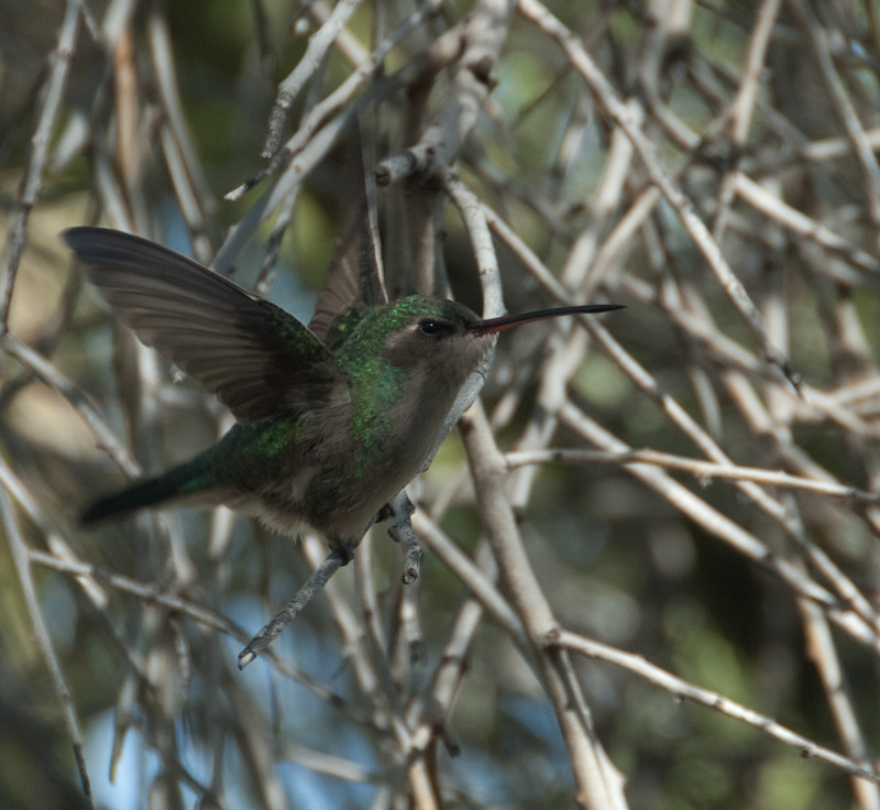 Female Broad-billed Hummingbird (Cynanthus latirostris)