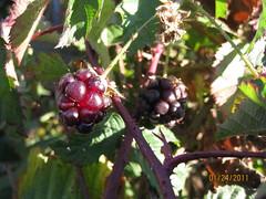first blackberries 2011