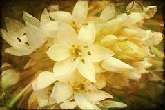 Flowers (Dawn Woodhouse) Tags: flowers white colour texture yellow photoshop jaune joy happiness amarillo amarelo gelb giallo delicate barra geel ki gul zard kuning amarela pila giel gulur sik zuta keltainen zolty buidhe sarga peero wohng huangse heartawards rawaya kitrino arealgem lakna melemele dawnwoodhouse heartworldaward ringexcellence dblringexcellence photographyforrecreation theelitephotographer assfar dalonige tsahav zeltiuj cawian seelhoerng