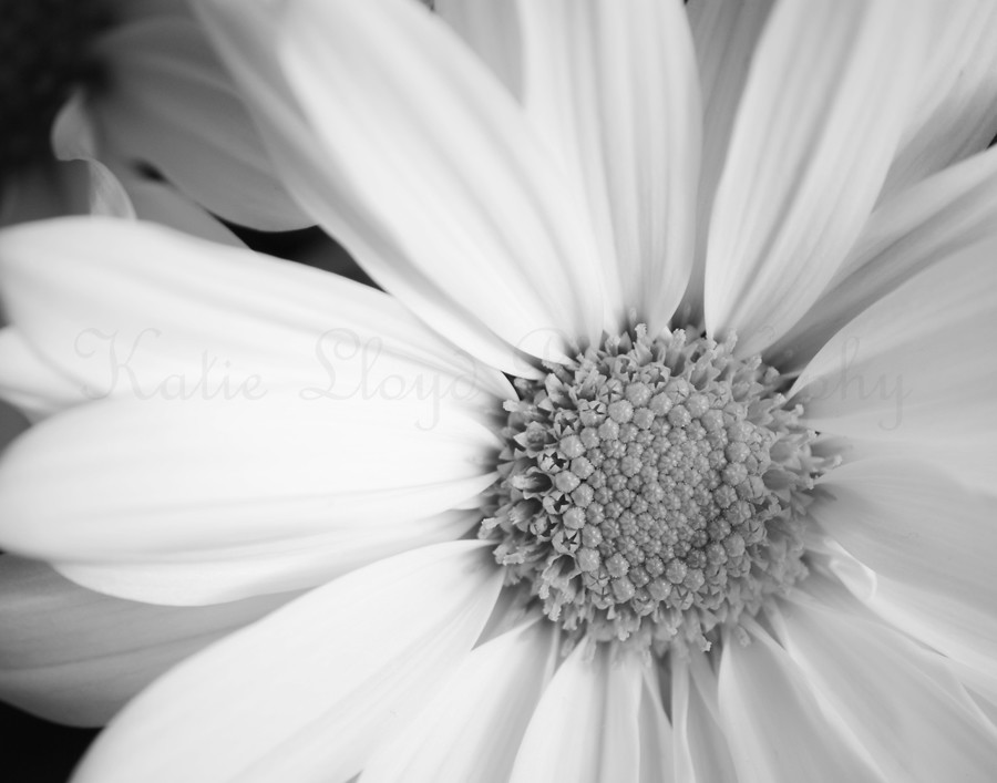 Daisy-black-and-white-2