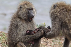 Hands Off My Baby (*ScottyO*) Tags: africa animals tanzania safari baboons wildanimals tarangerie