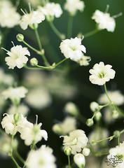 [10/3] (عفاف المعيوف) Tags: flower project وردة ورود زهرة أخضر ماكرو زهور