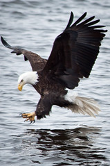 Eagle attack (vidular) Tags: nature nikon eagle wildlife baldeagle january iowa mississippiriver lightroom americanbaldeagle d90 haliacetusleucocephalus eagleattack lockanddam14 attackingeagle
