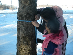 Measuring a Smaller Pine Tree (Pictures by Ann) Tags: trees winter brown tree green art nature pine observation outdoors education natural olivia cone outdoor waldorf science appreciation study bark observe math write draw montessori activity measure homeschool sophia naturalworld homeschooling cones pinecones measuring naturewalk unschool unschooling naturestudy charlottemason handbookofnaturestudy annacomstock