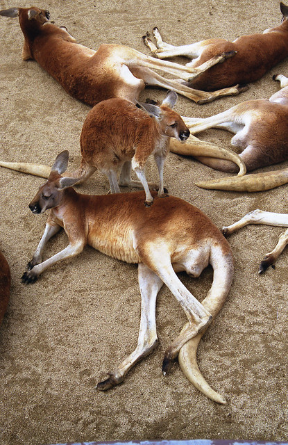 カンガルーのフリー写真素材