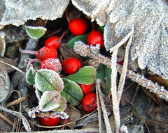 Hoarfrost beauties (Hellebardius) Tags: winter hoarfrost raureif whitefrost rauhreif eiskristalle