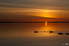 Swans at Sunset (BraCom (Bram)) Tags: sunset sun reflection clouds swan zonsondergang ducks wolken zon eenden goereeoverflakkee zwaan grevelingen spiegeling coth coth5 bracom mygearandme mygearandmepremium mygearandmebronze mygearandmesilver mygearandmegold mygearandmeplatinum mygearandmediamond