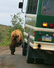 curious cub (Rebecca Tifft) Tags: bus alaska cub wildlife grizzly denali bearcub grizzlybear denalinationalpark