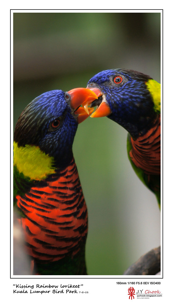 Kissing rainbow lorikeet