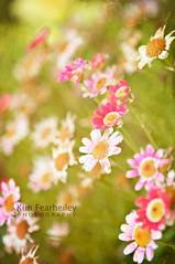 Spring Fever (KimFearheiley) Tags: daisies spring daisy maitai springtime springfever goawaywinter florabella