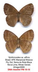 Yphthimoides affinis