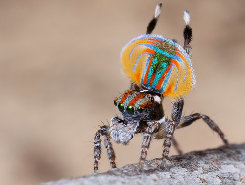 _MG_2581 peacock spider Maratus volans | Male of Australian … | Flickr