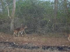 100_0337 (travellersai) Tags: kerala treehouse wayanad teaestate wildboar bandipur chital vythri banasuradam soojiparafalls streamvalleyresorts