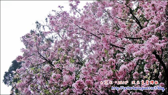 59 無止盡的櫻花