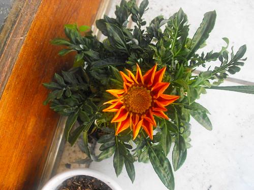 Flor girasolada