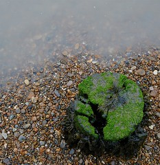 On the tide (Grooover) Tags: seaweed beach suffolk post tide pebbles stump bawdsey grooover
