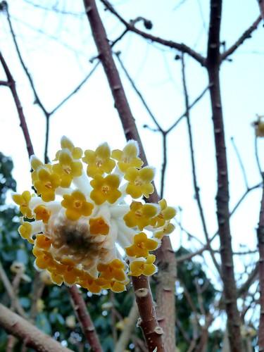 Chinese Paper Tree