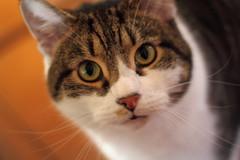 Close Up (mattwareherts) Tags: portrait field cat dof tabby profile harry depth shall bokka of flickrheartsecondchance peacepromotion peacesecondchance photoadditionscomplete