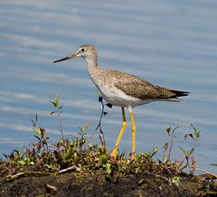 ~Greater YellowLegs~ (Rachelle Vance) Tags: ged greateryellowlegs commontalllongleggedshorebird piercingalarmcalls wadesinwater