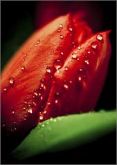 Night Tulips (johnr71) Tags: red plant flower macro nature water rain closeup night canon dark drops f tulip 5d