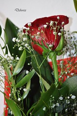 rosa (Debora Matteis) Tags: red rose rosa rosso mazzo fiorellini bunchofroses