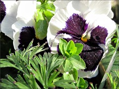 Pansies in the morning sun