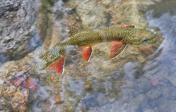 Brook Trout Rising