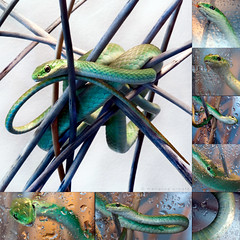 my little green pretzel (marianna a.) Tags: pet house canada green water collage tongue closeup square lumix droplets bright florida quebec native reptile snake montreal mosaic drinking panasonic g1 colourful rough licking terrarium twiggy marianna insectivore treesnake armata perfectsquare mariannaarmata