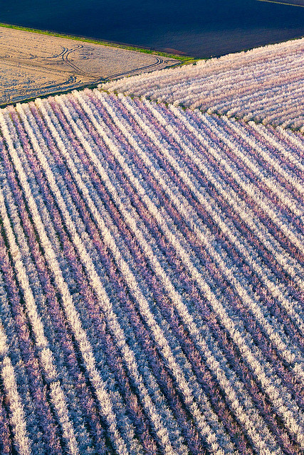 Almond Bloom from the Air