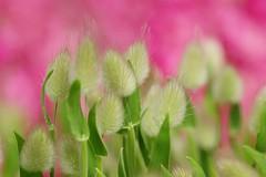 /Lagurus ovatus-1 (nobuflickr) Tags: plant nature japan kyoto thekyotobotanicalgarden  lagurusovatus awesomeblossoms