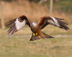 In Your Face (Andrew H Wildlife Images) Tags: bird nature wales wildlife flight redkite rhayader gigrinfarm canon7d ajh2008