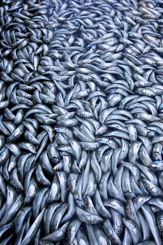フリー写真素材, 動物, 魚類, 社会・環境, 災害, 群れ・大群, アメリカ合衆国, カリフォルニア州,