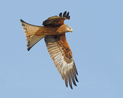 Kite Flight 44 (Andrew Haynes Wildlife Images ( away for a while )) Tags: bird nature wales wildlife redkite rhayader gigrinfarm canon7d ajh2008