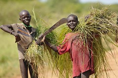 Cutting grass (Thierry Labrouze) Tags: sudan lakes dinka d300 yirol nikkor300mmf4ed