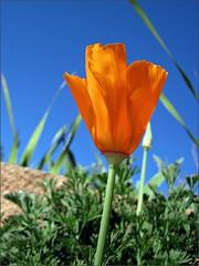 California Poppy #3