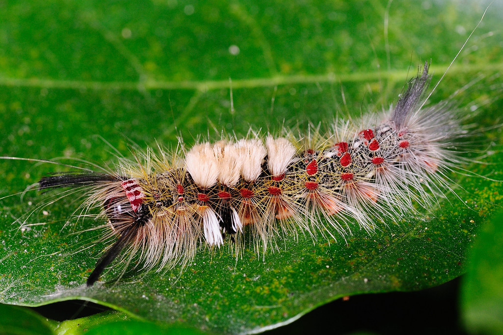 基斑毒蛾(幼蟲) Olene mendosa