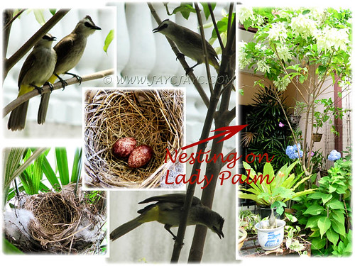 Collage: Pycnonotus goiavier (Yellow-vented Bulbul) nesting on Lady Palm trees at our garden porch