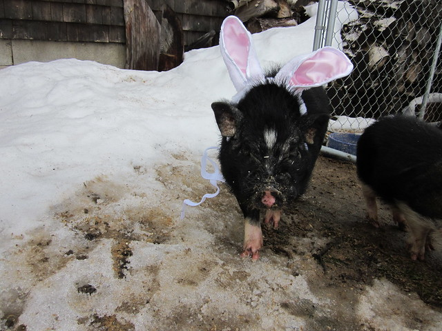 arrival of the easter pig