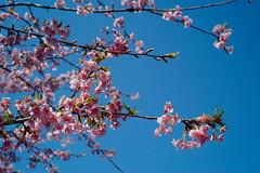 Spring Sky (mrhayata) Tags: park sky japan geotagged tokyo blog spring blossom shibuya peach yoyogi mrhayata geo:lon=139696264 geo:lat=35671736
