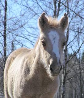 Finnhorse foal
