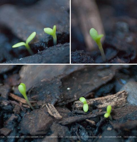 Chamomile seedlings