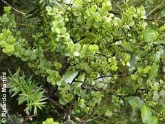 Antidaphne punctulata (Chilebosque) Tags: del temu quintral kingii parsitas eremolepidaceae lepidoceraskingii lepidoceras
