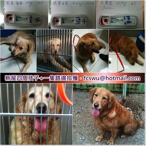 「支援助認養」從新屋收容所救出4隻黃金獵犬,加1隻路邊撿到的共5隻,需要醫療資源助認養,謝謝您,20110318