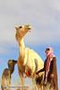 افلا تنظرون الى الابل كيف خلقت (محمد الشيحان) Tags: ، الصحراء ناقة عفراء الابل الجمل الأبل