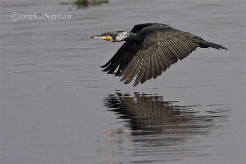 large cormorant in flight by goodfriend19